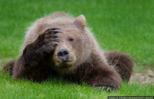 bear, animal humor